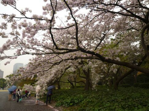 皇居東御苑の桜2.jpg