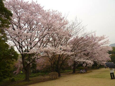 皇居東御苑の桜3.jpg