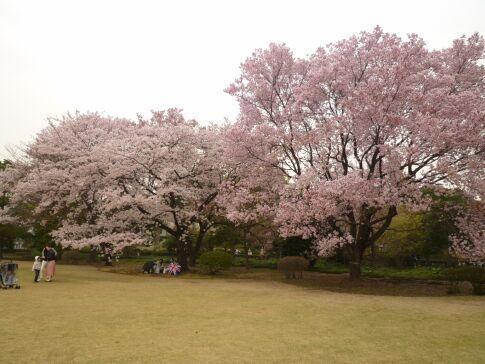 皇居東御苑の桜4.jpg