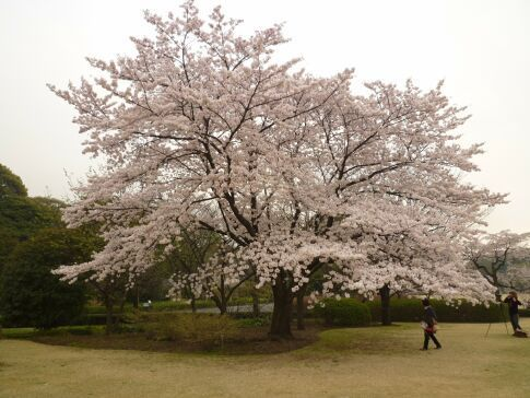 皇居東御苑の桜5.jpg