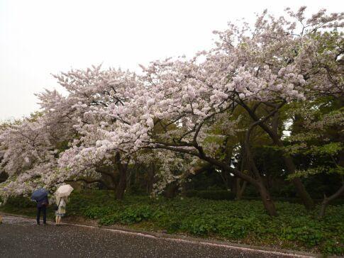 皇居東御苑の桜1.jpg