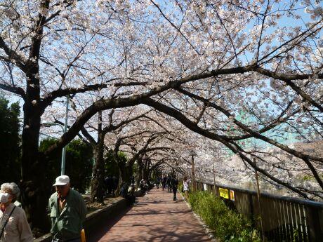 目黒川沿いの桜0.jpg
