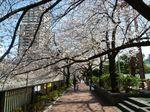 目黒川沿いの桜 大.jpg