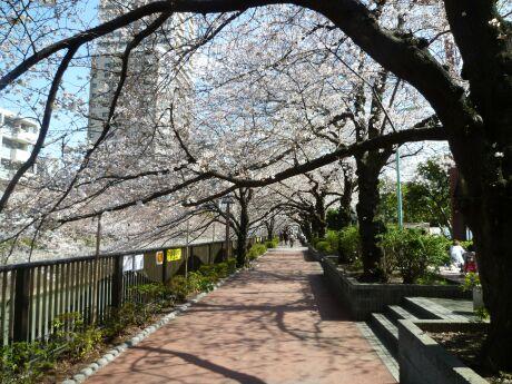 目黒川沿いの桜4.jpg