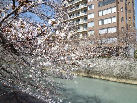 目黒川沿いの桜3.jpg