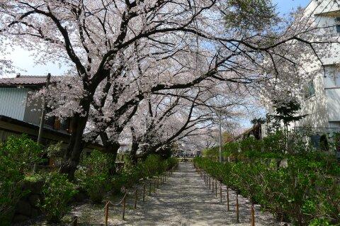 真光寺の桜2.jpg