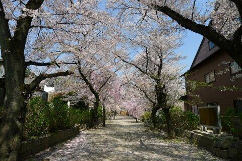 真光寺の桜3.jpg