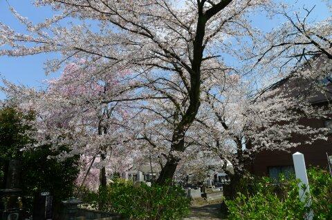真光寺の桜4.jpg