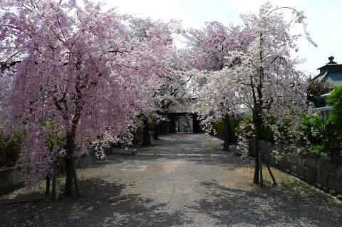 真光寺の桜5.jpg