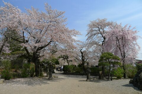 真光寺の桜6.jpg