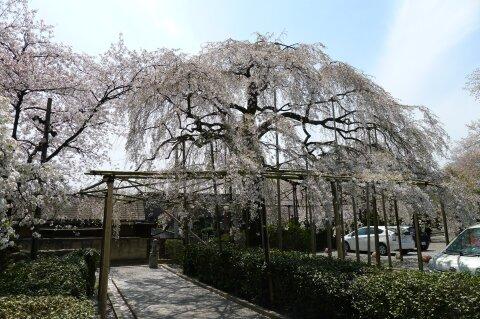 真光寺の桜72.jpg