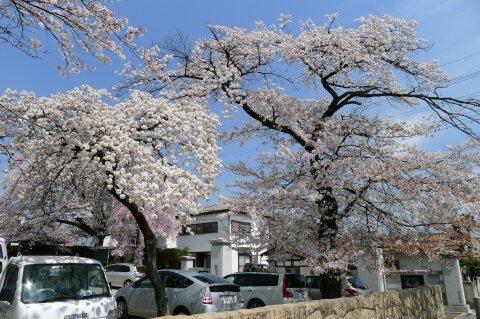 真光寺の桜8.jpg