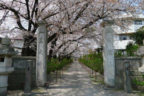 真光寺の桜1.jpg