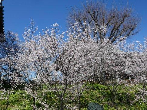 石上寺  熊谷桜2.jpg
