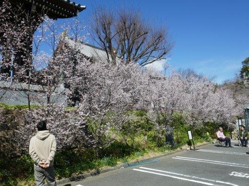 石上寺  熊谷桜3.jpg
