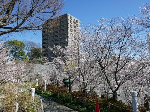 石上寺  熊谷桜4.jpg