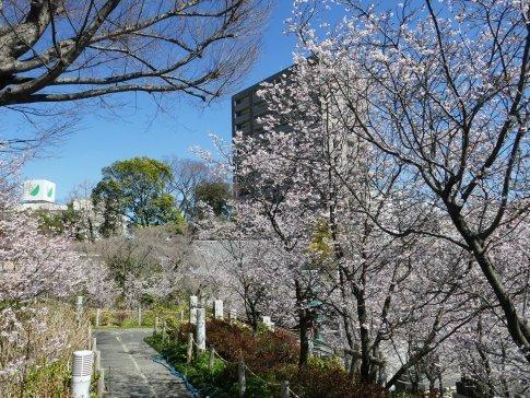 石上寺  熊谷桜5.jpg