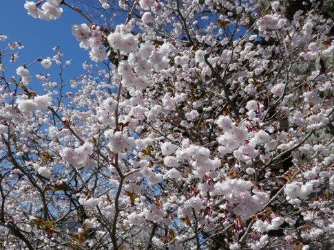 石上寺  熊谷桜6.jpg