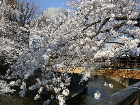 石神井川沿いの桜.jpg