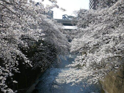 石神井川沿いの桜2.jpg