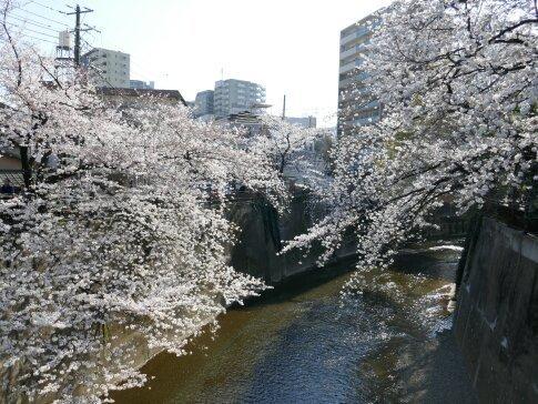 石神井川沿いの桜4.jpg