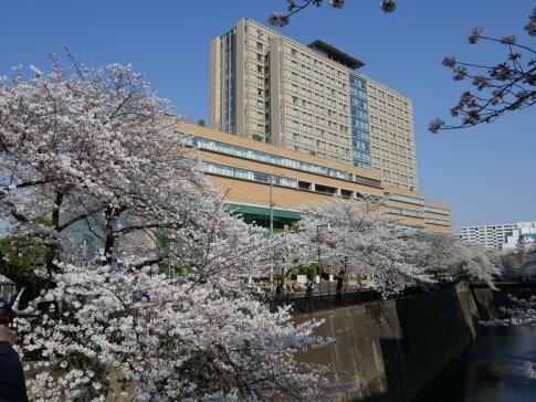 石神井川沿いの桜5.jpg