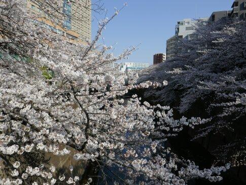 石神井川沿いの桜6.jpg