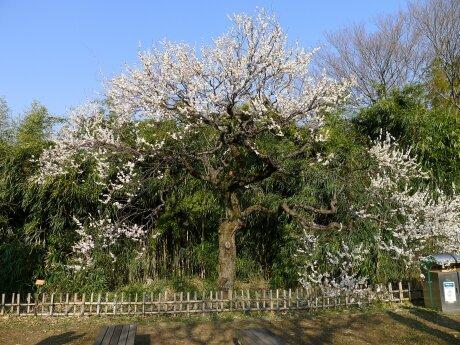 神代植物園 梅2.jpg