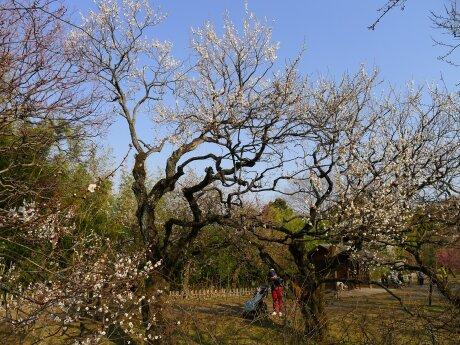 神代植物園 梅5.jpg