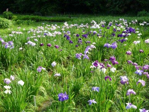 神代水生植物園4.jpg