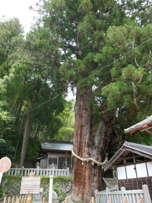 神明神社の大杉3.jpg