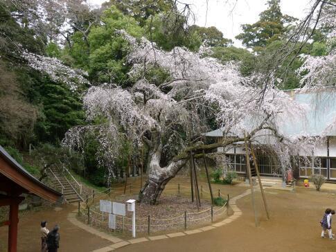 福星寺の親子桜2.jpg