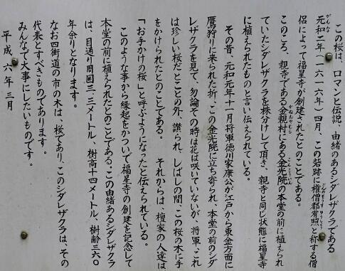 福星寺の親子桜3.jpg