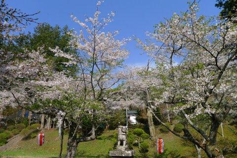 福泉寺 桜.jpg