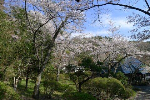 福泉寺 桜3.jpg