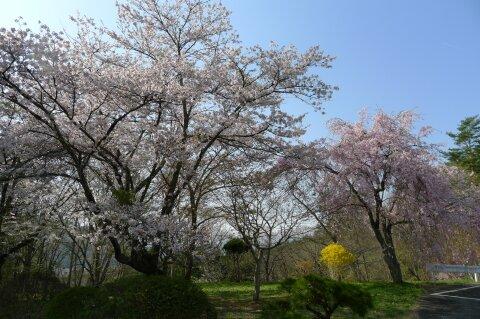 福泉寺 桜4.jpg