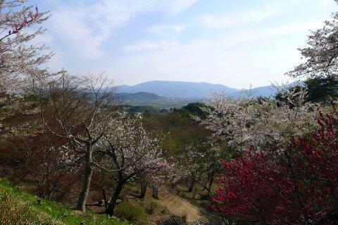 福泉寺 桜5.jpg