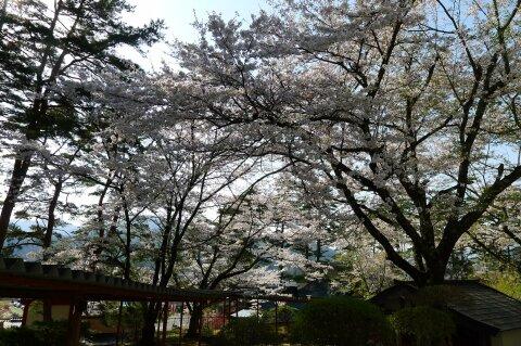 福泉寺 桜6.jpg
