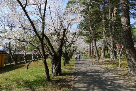 福泉寺 桜1.jpg