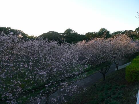 秋元別邸 冬桜.jpg