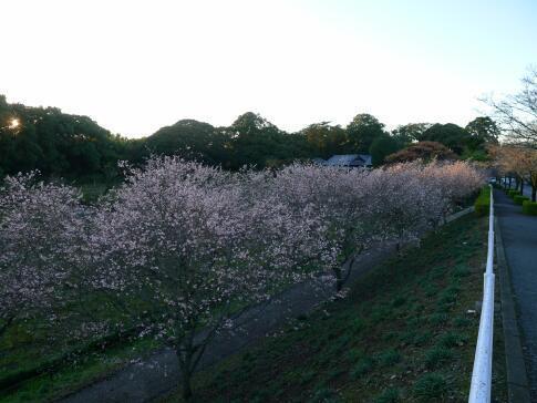 秋元別邸 冬桜2.jpg