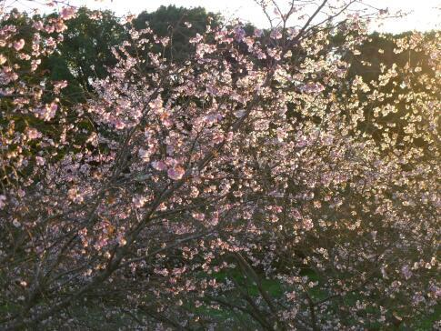 秋元別邸 冬桜6.jpg
