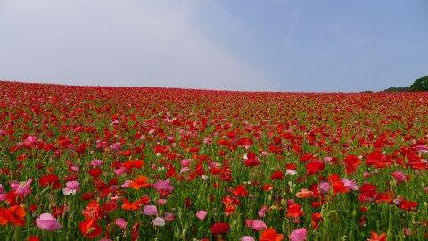 秩父高原牧場のポピー201404.jpg