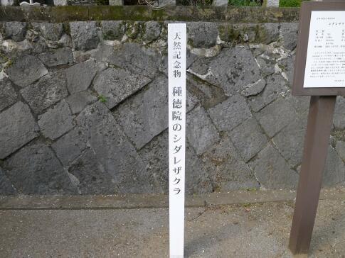 種徳院の枝垂れ桜.jpg