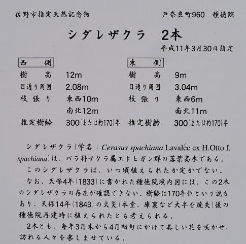 種徳院の枝垂れ桜2.jpg