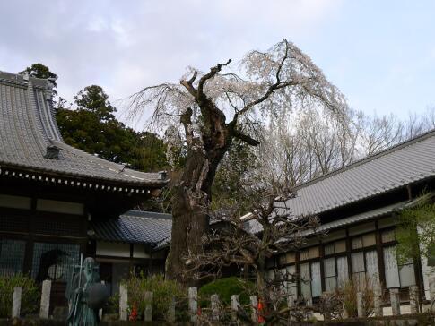 種徳院の枝垂れ桜 東.jpg