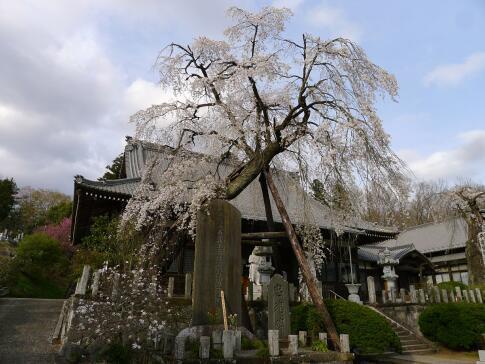 種徳院の枝垂れ桜 西.jpg
