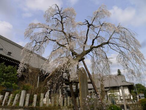 種徳院の枝垂れ桜 西2.jpg