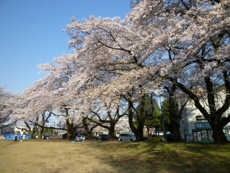 稲荷山公園の桜2.jpg