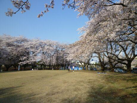 稲荷山公園の桜3.jpg